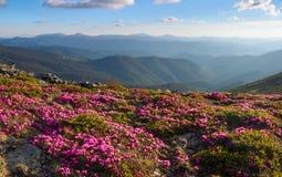 Många trevliga rosa rhododendroner på bergen Royaltyfri Bild