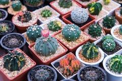 Många typ av kaktuns i kruka fotografering för bildbyråer
