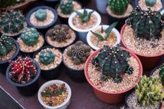 Många typ av kaktuns i kruka arkivbild