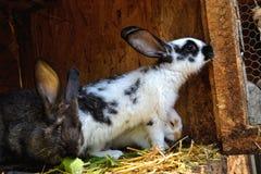 Många unga kaniner i ett skjul En grupp av små kaniner matar in ladugårdgården Påsksymbol Arkivbild