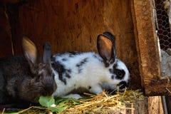 Många unga kaniner i ett skjul En grupp av små kaniner matar in ladugårdgården Påsksymbol Royaltyfri Fotografi