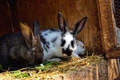 Många unga kaniner i ett skjul En grupp av små kaniner matar in ladugårdgården Påsksymbol Royaltyfria Bilder