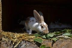 Många unga kaniner i ett skjul En grupp av små kaniner matar in ladugårdgården Påsksymbol Royaltyfri Bild