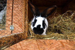Många unga kaniner i ett skjul En grupp av små kaniner matar in ladugårdgården Påsksymbol Arkivfoton