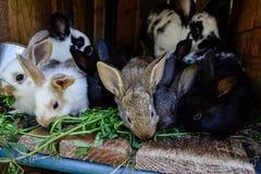 Många unga söta kaniner i ett skjul En grupp av liten färgrik kaninfamiljmatning på ladugårdgård Påsksymbol Royaltyfri Foto