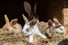 Många unga söta kaniner i ett skjul En grupp av liten färgrik kaninfamiljmatning på ladugårdgård Påsksymbol Royaltyfria Foton