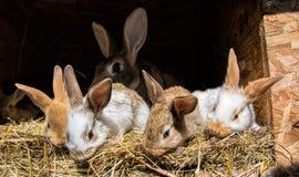 Många unga söta kaniner i ett skjul En grupp av liten färgrik kaninfamiljmatning på ladugårdgård Påsksymbol Royaltyfri Bild