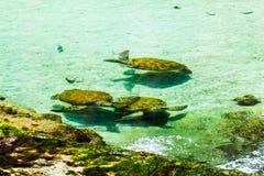 Många unga sköldpaddor royaltyfria bilder