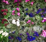 Många växande violets med gröna sidor, bakgrund, röd rosa färg arkivfoton