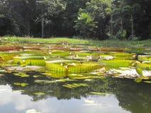 Många Victoria blad som är tropiskt med bakgrundsskogen Arkivfoto