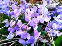 Många violetta lösa blommor av violets i skogen arkivfoto