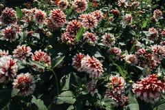 Många vit för krysantemummorifoliumblomma och röd färg Fotografering för Bildbyråer