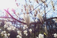Många vit magnoliablomningblomma Royaltyfri Fotografi