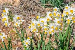 Många vita pingstliljablommor Arkivbild