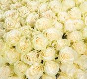 Många vita rosor som en blom- bakgrund Arkivfoton