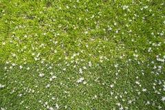 Många vita små blommor i bästa sikt av gräs Arkivbild