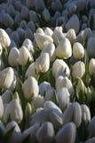 Många vita tulpan Royaltyfri Bild