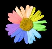 Mångfärgad chamomile Arkivbild