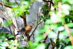 mångfärgad fågelfinch Royaltyfria Bilder