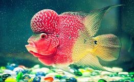 Mångfärgad fisk med konstiga former i ett akvarium Fotografering för Bildbyråer