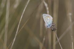 Mångfärgad fjäril i fältet arkivfoton