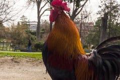 Mångfärgad hane som gal i parkera Arkivbilder