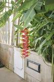 Mångfärgad inflorescence för Heliconia rostrata royaltyfria foton
