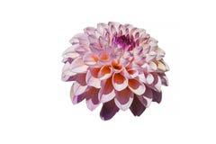 Mångfärgad krysantemummorifoliumblomma, närbild Fotografering för Bildbyråer