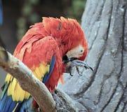 mångfärgad papegoja Royaltyfri Bild