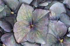 Mångfärgad vanlig hortensia Arkivbild
