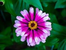 Mångfärgad Zinniablomma i blom fotografering för bildbyråer