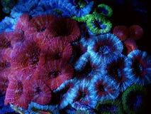 Mångfärgade Acanthastrea Brain Coral Arkivfoton