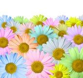 Mångfärgade chamomiles Royaltyfri Foto