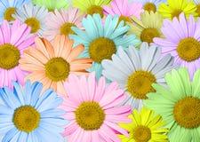 Mångfärgade chamomiles Royaltyfria Foton