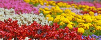 Mångfärgade dekorativa blommor stänger sig upp i sommar Royaltyfri Fotografi