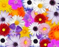 mångfärgade färgrika blom- blommor för bakgrund Fotografering för Bildbyråer