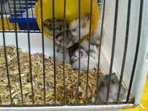 Mångfärgade Jungar hamstrar i en bur Fotografering för Bildbyråer