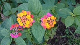 mångfärgade mycket små blommor Royaltyfria Foton