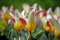 Mångfärgade tulpan Royaltyfria Bilder