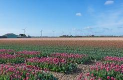 Mångfärgade tulpanfält i det nordliga landskapet av Nederländerna Royaltyfri Bild