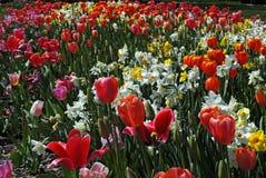 Mångfärgat fält av tulpan och påskliljor Royaltyfri Foto