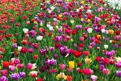 Mångfärgat tulpanfält i Holland royaltyfri bild