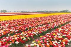 Mångfärgat tulpanfält i norr Holland Royaltyfri Fotografi