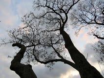 Månghundraåriga träd Fotografering för Bildbyråer