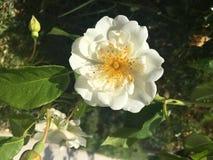 Månskenrosträdgård royaltyfria foton