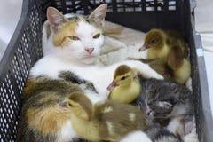 Mère adoptive de chat pour les canetons Photos libres de droits