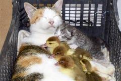 Mère adoptive de chat pour les canetons Photographie stock libre de droits