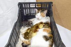 Mère adoptive de chat pour les canetons Image stock
