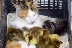 Mère adoptive de chat pour les canetons Photo libre de droits