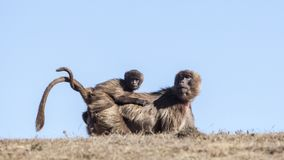 Mère avec le bébé Gelada photos stock